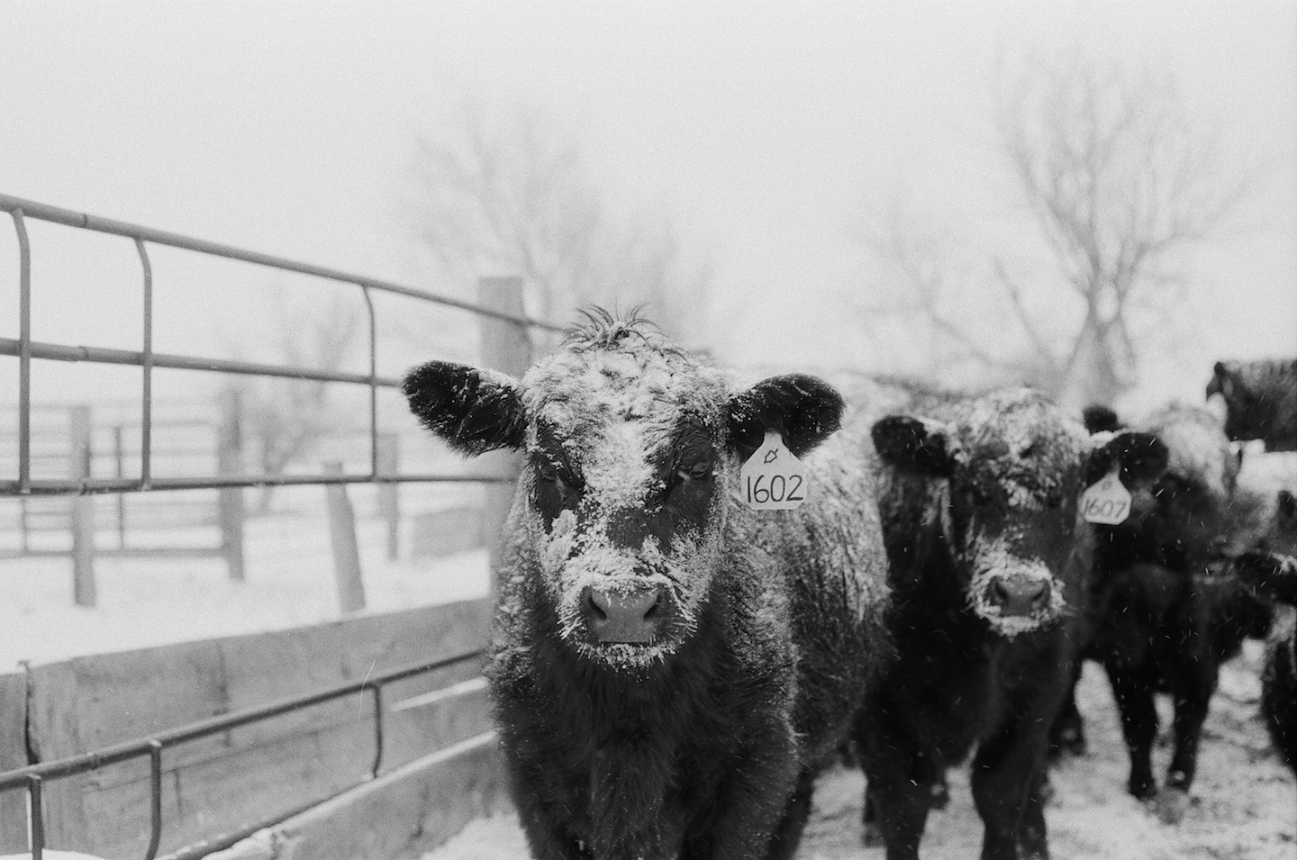 heifer in the snow