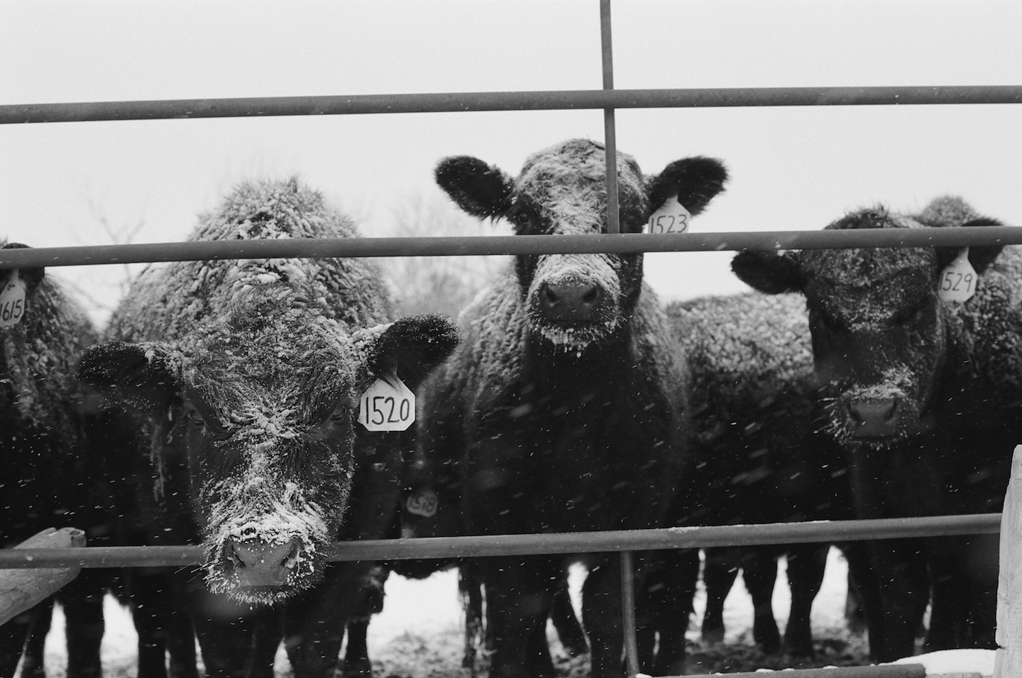 heifers in the snow