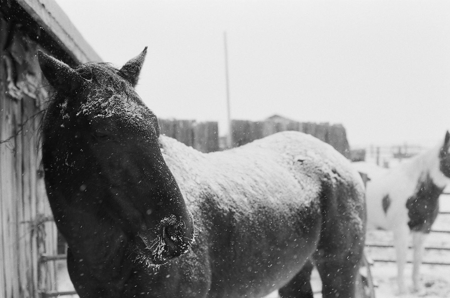 horse getting snow in face