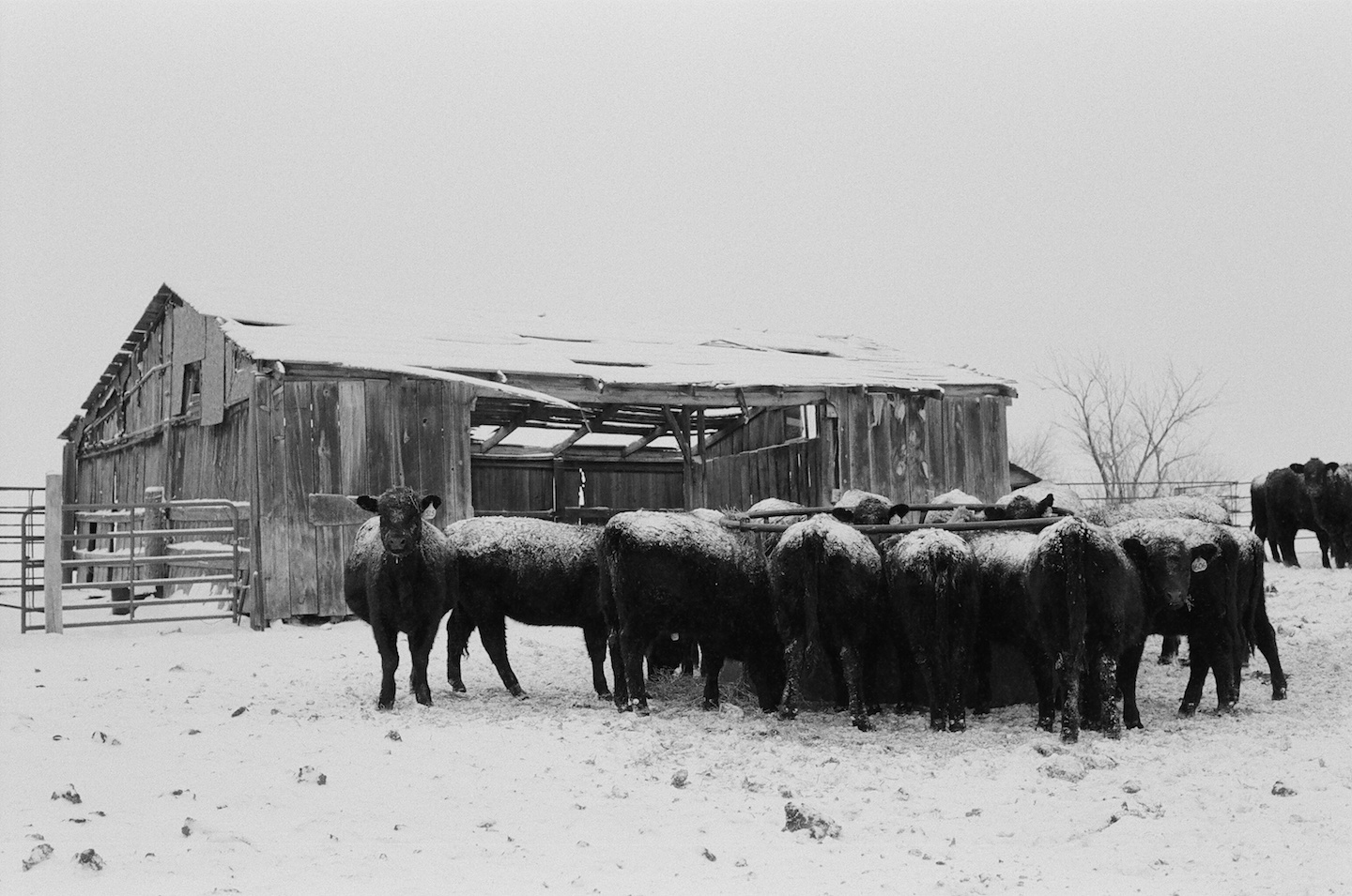 heifers eating in the snow