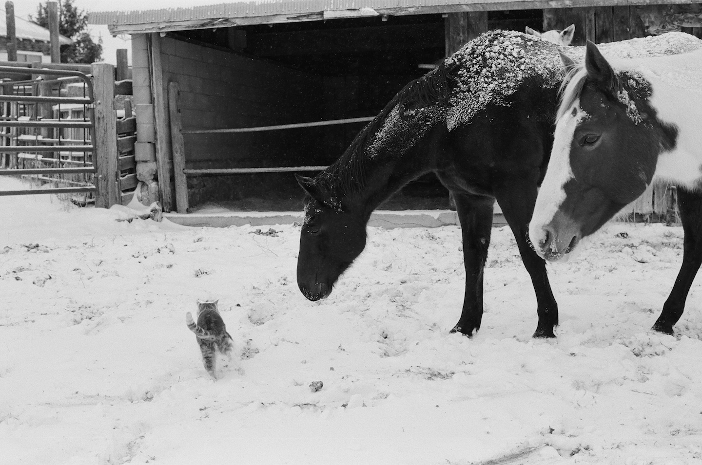 horses follow cat in snow