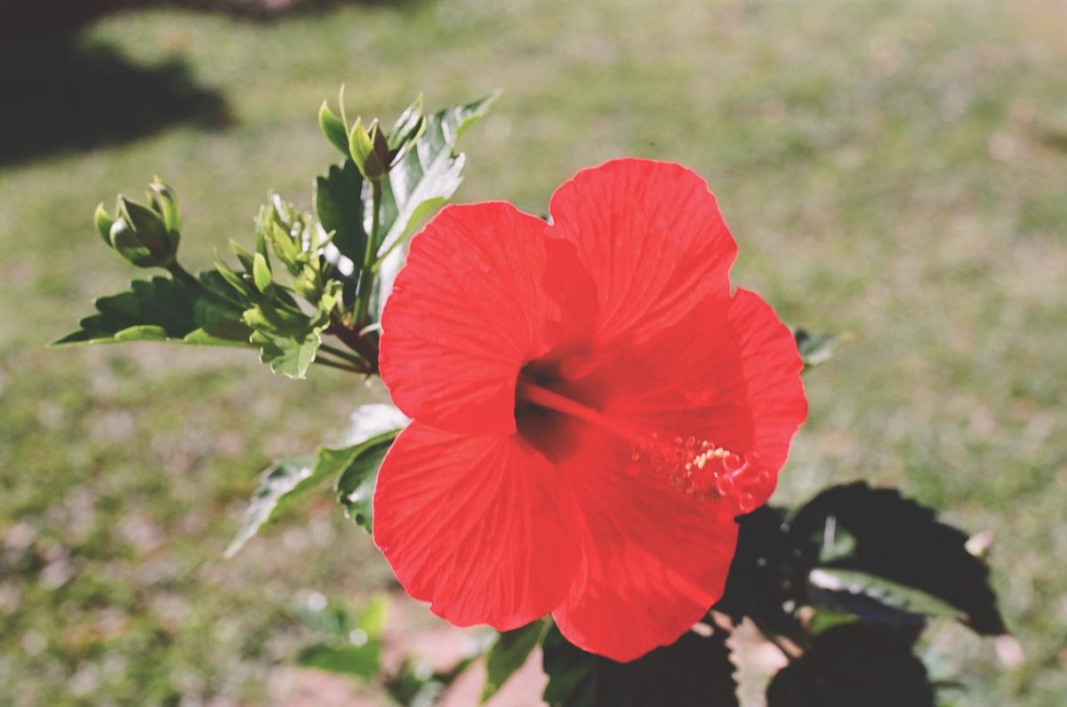 Hibiscus Maui Hawaii