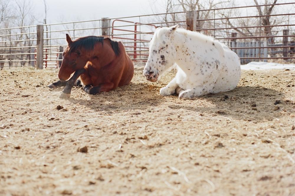 horses napping