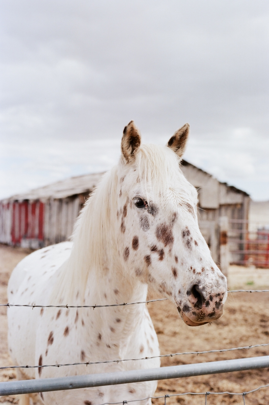 appaloosa mare horse cloudy day
