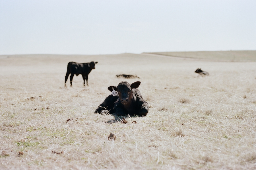 sleepy calf prairie