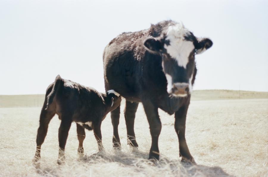 calf nursing cow