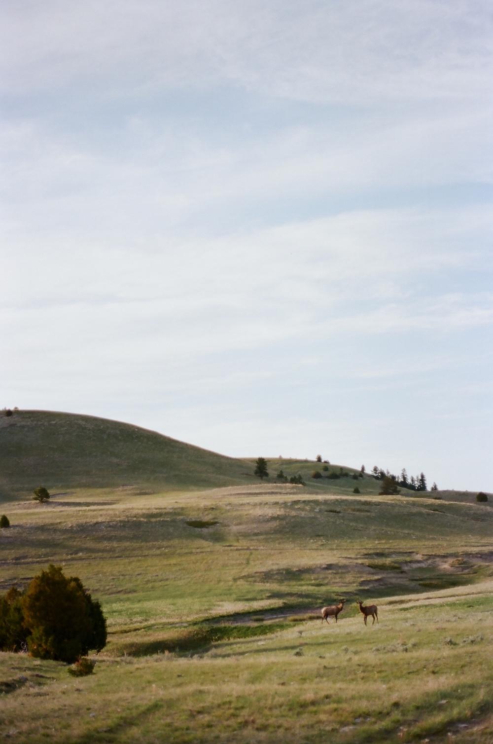 Wyoming elk spring