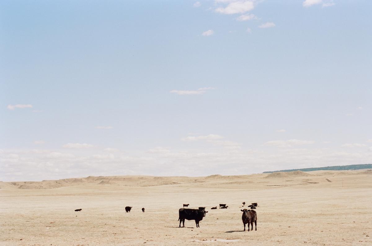 cow herd heifers