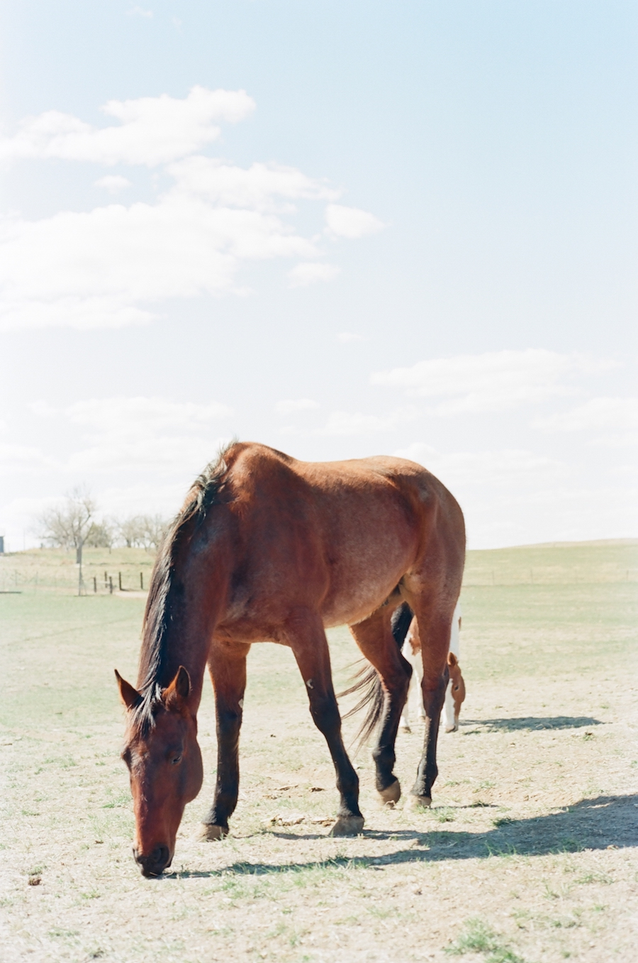 red roan quarter horse gelding grazing