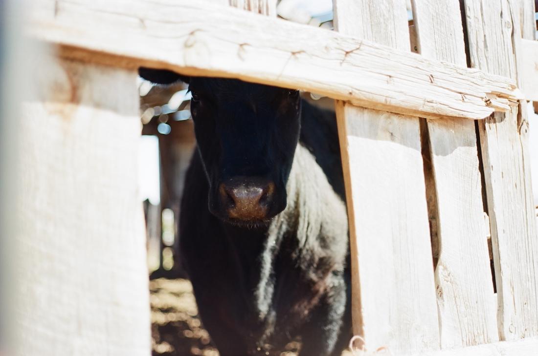 black cow inside old barn