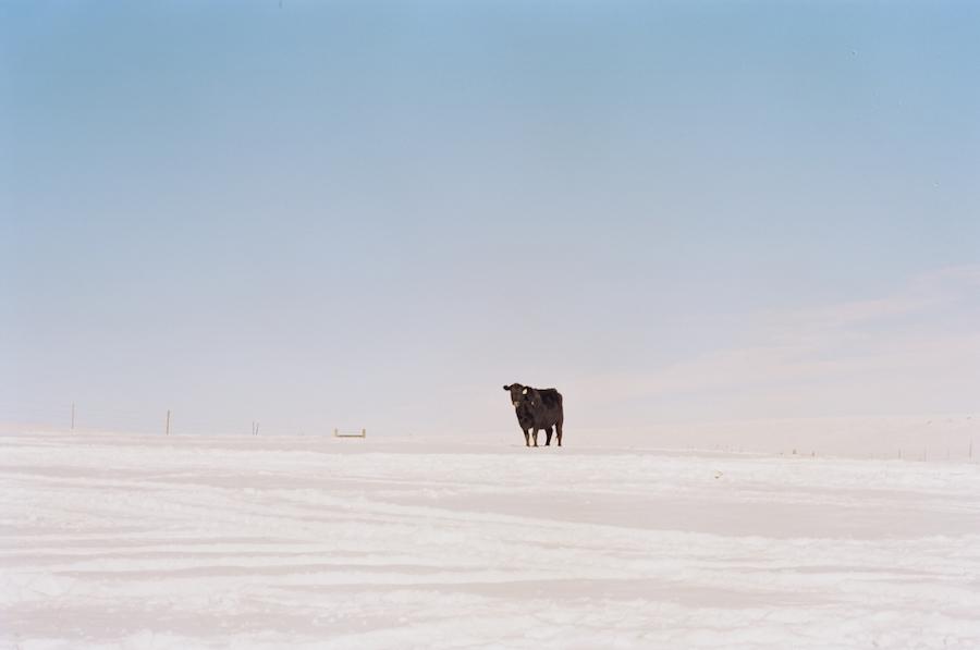 spring snow prairie cow