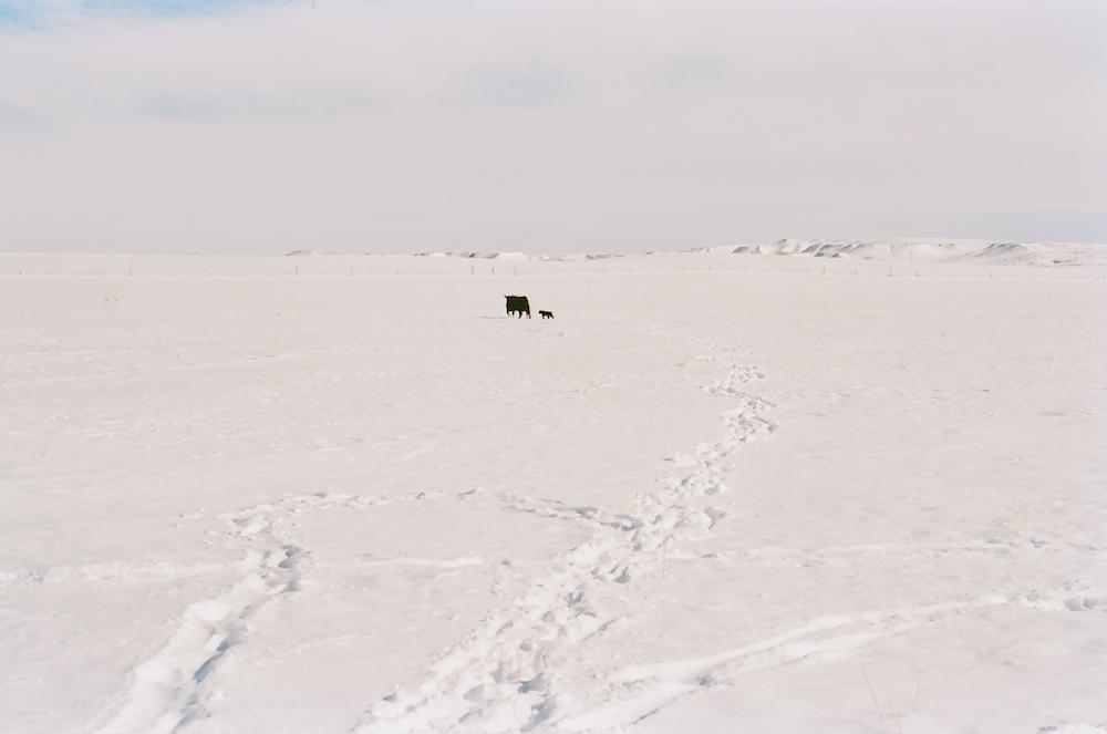 spring snow cow calf