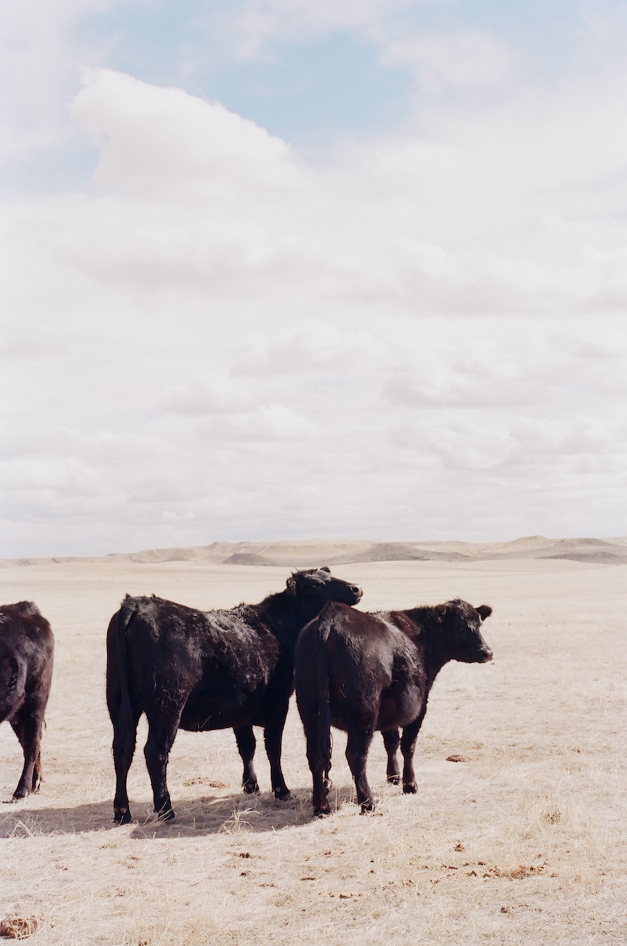 two black cows