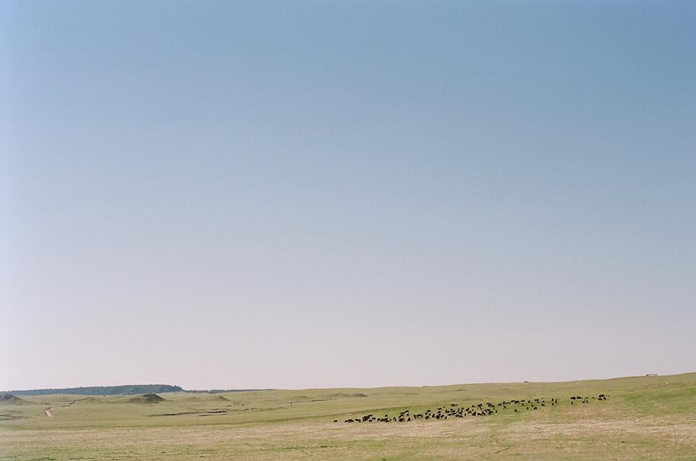 Wyoming prairie cattle herd