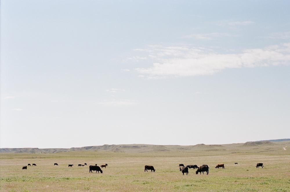 cattle herd grazing Wyoming prairie
