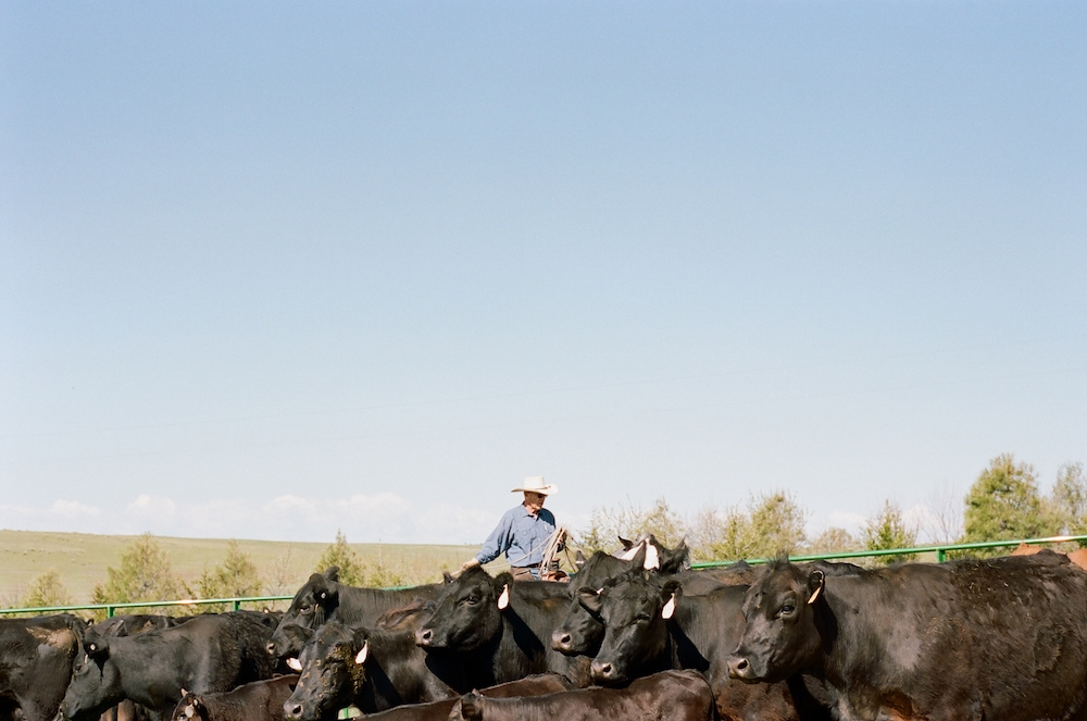cowboy in a herd of cattle