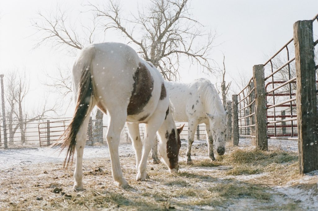 horses eating in sunlit snow