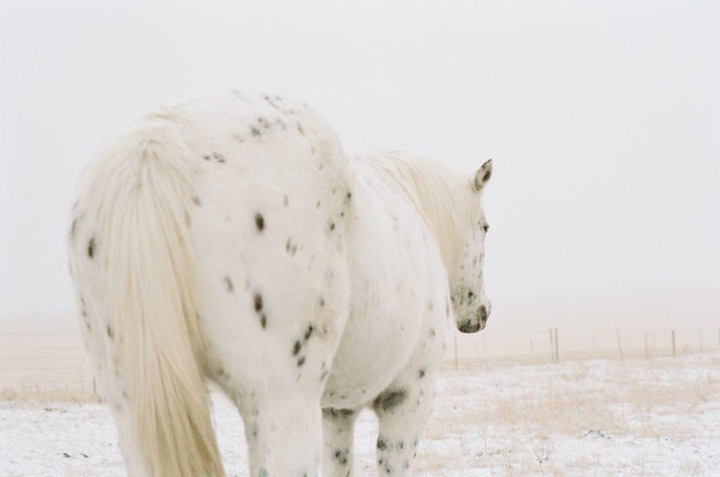 appaloosa horse in prairie snowstorm