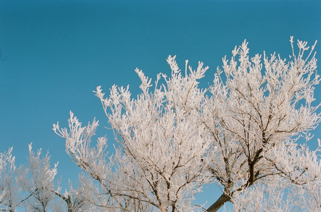 cottonwood tree hoarfrost