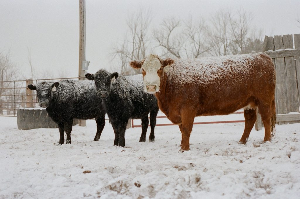 red cow black cows in the snow